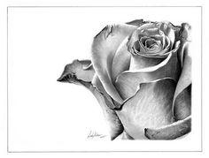 Rose done in pencil.