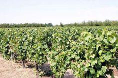 """Bien souvent oublié sur la Route des vins du """"les Vignobles d'Orléans"""" font partie des Vignobles du Centre au même titre que les vignobles de Sancerre, de Pouilly-sur-Loire, de Pouilly Fumé, de Mennetou-Salon, de Quincy, de Reuilly, de Chateaumeillant et des Côtes-de-Gien. Sancerre, Gien, Berry, Plants, Tourism, Drawing Rooms, Berries, Flora, Plant"""
