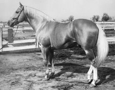 Question Mark was born in 1937 in Cimarron, New Mexico. The Palomino stallion was sired by Plaudit and out of a thoroughbred mare mare named Pepito. He was a smart, beautifully built horse with a unique crooked stripe. He did very well as a racehorse, but was forced to retire from his racing career because of a broken pastern. He sired 246 registered foals.
