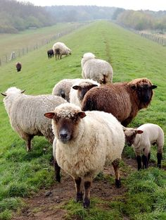 Ryeland is one of the oldest English sheep breeds going back seven centuries when the monks of Leominster in Herefordshire bred sheep and grazed them on the rye pastures, giving them their name.