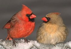 """""""Bird Poop"""" of north Texas: Luckily we have Cardinals almost everywhere now"""