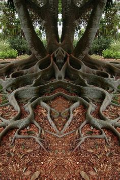 Is nature cool, or what? The Moreton Bay Fig tree is more than 160 years old. It is in Santa Barbara, California. Not sure if this is real or photoshopped, but it is amazing!The amazing symmetry of mother nature. ~via Save our green, FB. Art Et Nature, Science And Nature, Weird Trees, Unique Trees, Tree Roots, Tree Art, Land Art, Amazing Nature, Nature Photography