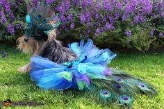 Macie the Yorkie modeling her Peacock costume, made from tulle and peacock feathers mostly. Her mask is made from bendable craft foam, hot glue and feathers.