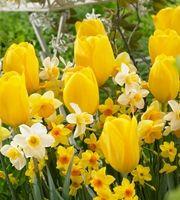 Keltainen kevät -mix 15 kpl