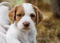 American Brittany Spaniel/Wiegref (Epagneul Breton)