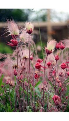 "Geum triflorum (Prairie Smoke) is one of the most stunning and longest lasting prairie perennials, with unmistakable feathery silver and pink seedheads in mid-spring. It is a soft, hairy plant growing typically to 16"" tall with fern-like leaves. It prefers full sun and average to dry soil. It is drought tolerant once established, grows in sand, gravel and rock gardens. It spreads by rhizomes and can be naturalized to form an interesting ground cover."