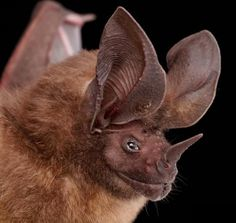 Embedded image Ugly Animals, Unusual Animals, Cute Animals, Amphibians, Mammals, Reptiles, All About Bats, Bat Photos, Bat Species