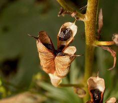 Fruit madur (en poliol·licle) de la tora blava (Aconitum napellus)