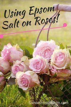 Epsom Salt For Roses, Epsom Salt Uses, Epsom Salt For Plants, Container Gardening, Gardening Tips, Organic Gardening, Flower Gardening, Vegetable Gardening, Gardening Supplies