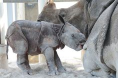 There are less than 3,000 Indian Rhinos left in the wild occurring in small protected areas of Nepal, India, and Assam. They are the world's fourth largest land mammal sometimes reaching a weight of 6,000 pounds.
