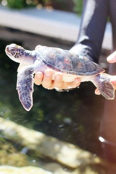 Baby Honu <3 Sea turtle catch and release.