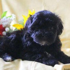 Onya - Havapoo Puppy For Sale in Pennsylvania Havapoo Puppies, On Shot, Puppies For Sale, Cute Animals, Shots, Creatures, Indoor, Health, Sweet