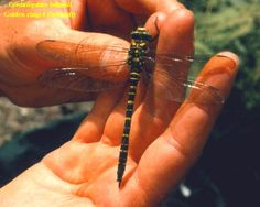This is beautiful dragonfly. I wish I could have the chance to hold it and see it up close.