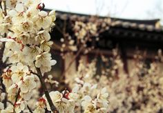 Andong blossoms by Uijeongbu Knitter, via Flickr