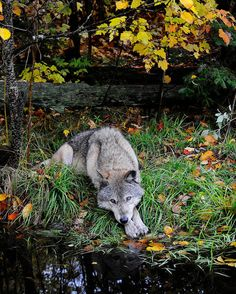 Gray Timber Wolf Lying By Pond In Autumn Leaves by NatureIsArt, $22.00