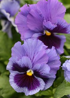 """fun fact:"""". Viola? 'Frizzle Sizzle Blue' Both the viola & the pansy are members of the genus violaceae, & of the violet family. The common blue & yellow viola cornuta or 'Johnny jump-up' is the wild viola that most species of viola can be tentatively traced back to. Pansies, from the French word for """"thoughts"""" or """"memories"""", are actually bred from the viola but have been cultivated for thousands of years, so long that their origin is hard to trace. The result, a larger, more showy flower"""""""