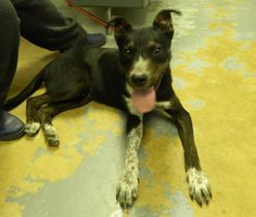 Petfinder  Adoptable   Dog   Labrador Retriever   Waverly, OH   Norris AT RISK   FULLY VACCINATED