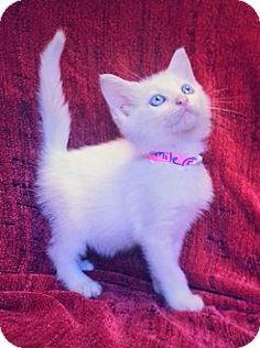 Prattville, AL - Domestic Shorthair. Meet Camille 21180, a kitten for adoption. http://www.adoptapet.com/pet/11561409-prattville-alabama-kitten