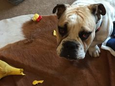 Oh no the chicken just got it! #bulldogs #britishbulldogs #fredthebritishbulldog #dogs #puppies