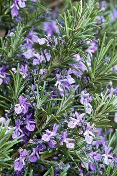 8 virágos gyógynövény, amely illatot és színt hoz a kertbe – morzsaFARM