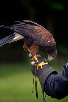 Harris hawk, I want a male someday. Such cool birds.