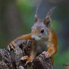 Eekhoorn op 'avontuur' gemaakt door Timo Jansen :) #Natuur #Natuurmonumenten #Fotowedstrijd
