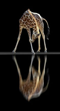 reflection of giraffe