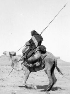Bedouin warrior carrying a spear / lance, making his camel kneel, 1900 to 1920.