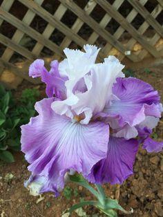 Selah Christine, TB. Bloom time  eTN: May (2015).