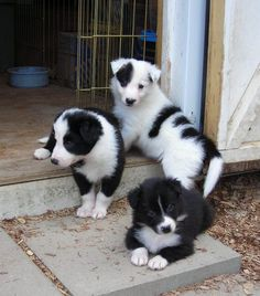 They look like Border Collies to me! ... puppies! #bordercollie