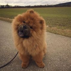 My name is Zino and I plan to be the next president. A puppy fluffy Chow Chow! Fluffy Dogs, Fluffy Animals, Cute Baby Animals, Animals And Pets, Perros Chow Chow, Chow Chow Dogs, Cute Puppies, Cute Dogs, Dogs And Puppies