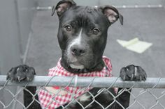 5/20/16 IN FOSTER CARE Manhattan Center   My name is BAY. My Animal ID # is A1071956. I am a male black and white staffordshire mix. The shelter thinks I am about 1 YEAR 1 MONTH old.  I came in the shelter as a STRAY on 04/30/2016 from NY 11235, owner surrender reason stated was STRAY
