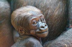 llbwwb:    Portrait of the cute baby gorilla (by Tambako the Jaguar)