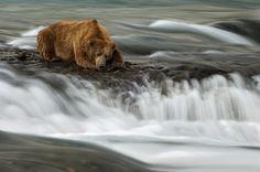 River Siesta for an Alaskan Brownie