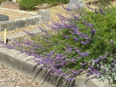 Botanical:  Trichostema lanatum; Common:  Woolly Blue Curls; Hardy to 10 degrees F without freezing back and has been known to recover from the base at temperatures down to below zero; http://www.smgrowers.com/products/plants/plantdisplay.asp?strSearchText=Trichostema lanatum_id=1562=