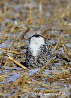 List Of Animals, Cute Animals, Owl House, Snowy Owl, Birds Of Prey, Natural World, Wildlife, Creatures, Hummingbirds