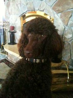 standard poodles | Large Brown Standard Poodle Reggie at home in So. Range, WI. He loves ...