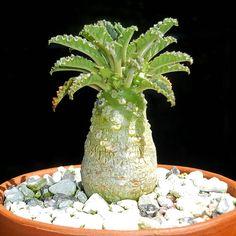 Dorstenia lavrani seedling