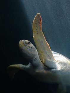 When turtles fly (by Yolande…)