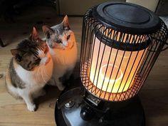 Sooo, Cute!!! 石油ストーブと猫