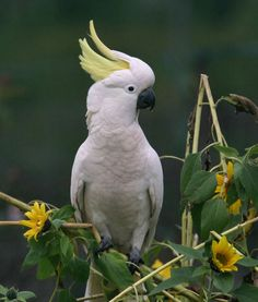Greater Sulphur Crested Cockatoo -