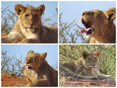 Right beside the male lion and lioness, were the most adorable 9 cubs, all about 9 months old.