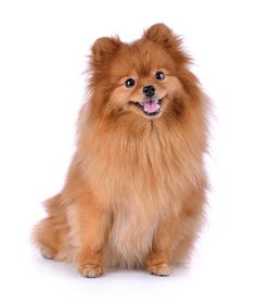30 Most Popular Dog Breeds That Are Famous All Over the World - Top Dog Tips Pomeranian Breed, Famous Dogs, Most Popular Dog Breeds, Teacup Puppies, Love Pet, Corgi, Pets, Animals, Recherche Google