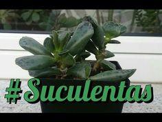 Suculentas - Adromischus cooperi