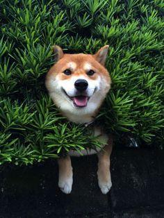 Scotché dans un buisson à 3m du sol ce Shiba Inu est comme en lévitation mais garde le sourire