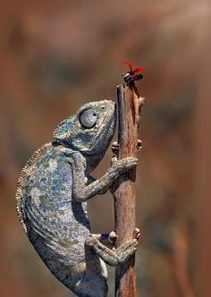 Don't GO ! (by Mustafa Öztürk) [ladybug] [lizard] Cute Reptiles, Reptiles And Amphibians, Reptile House, Living Fossil, Animal Action, Crocodiles, Beautiful Creatures, Animal Kingdom, Animal Pictures