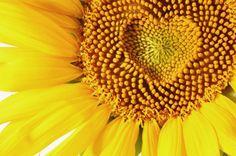 * Sunflower..