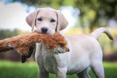 Shiloh labrador puppy
