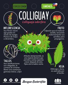 Colliguay , Colliguaja Odorifera #flora #floranima #bosqueesclerofilo #esclerofilo #sclerophyll #colliguay #infografia #infographic #ilustracion #illustration #planta #plant #botanica #botanical
