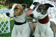 Magyar Agár / Hungarian greyhound #Sighthounds #Dogs #Puppy Magyar Agar, Hound Breeds, The Perfect Dog, Afghan Hound, Two Dogs, Greyhounds, Dogs Of The World, Dog Photos, Dogs And Puppies
